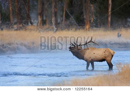 Bugling Elk In Madison River, Yellowstone