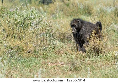 Baboon, Namibia, Africa