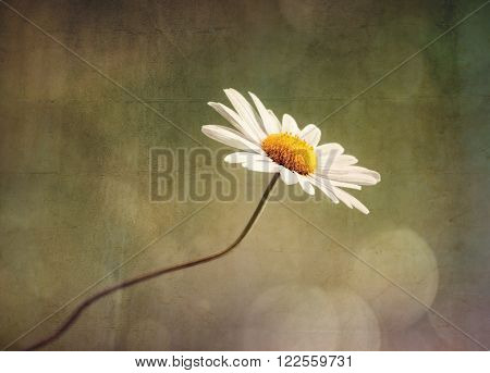 Daisy or camomile nature background