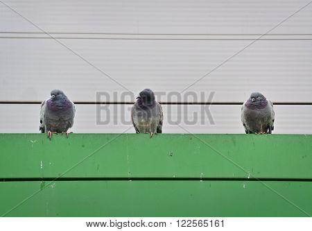 Closeup of three gray pigeons looking from above ** Note: Soft Focus at 100%, best at smaller sizes