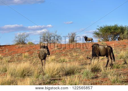 Blue Wildebeest Antelopes