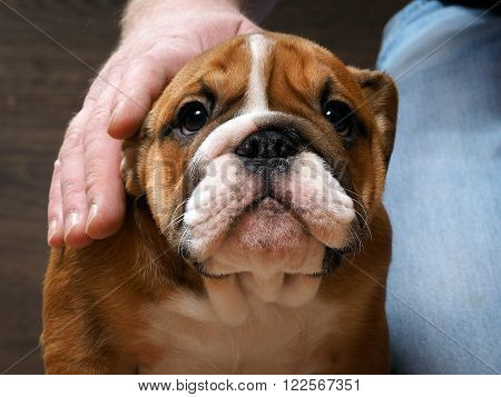 English bulldog puppy. Portrait. A man's hand stroking the dog. Muzzle puppy large