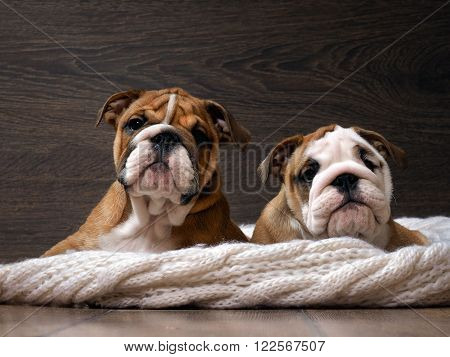 Two English bulldog puppy. Portrait. Muzzle dog close. Puppies are 3 months. White knitted blanket. Background wood