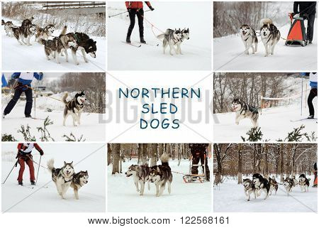 Northern Sled Dogs