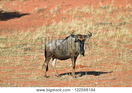 Blue wildebeest Connochaetes taurinus in the meadow big animal in the nature habitat Namibia Kalahari desert Africa