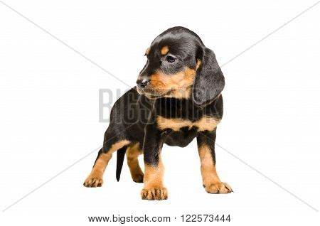 Cute puppy breed Slovakian Hound isolated on white background