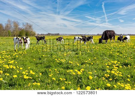 Mother cow with newborn calves in green grass with yellow dandelions during spring