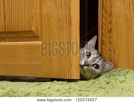 Curious cat looking between doors, funny curious grey cat
