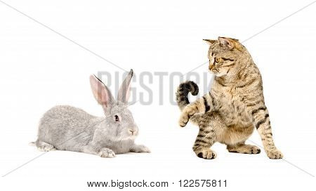 Playful cat Scottish Straight and gray rabbit isolated on white background