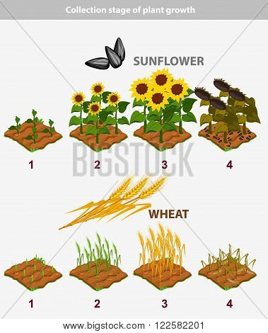 collection of plant growth stage. Sunflower and Wheat in vector