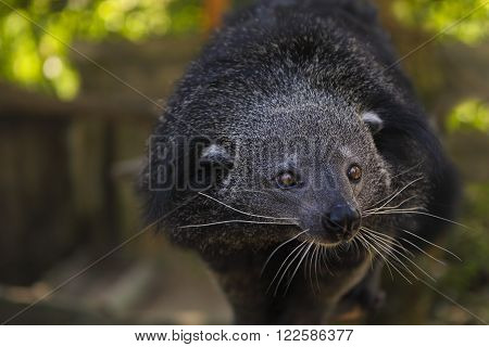Binturong or bearcat (Arctictis binturong). The binturong is widespread in south and southeast Asia occurring in Bangladesh Bhutan Myanmar China india and indonesia