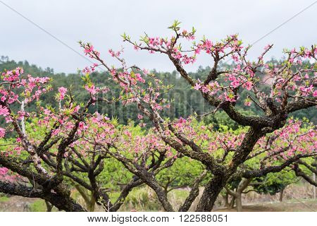 Peach Blossom in moutainous area in heyuan district, guangdong province, China
