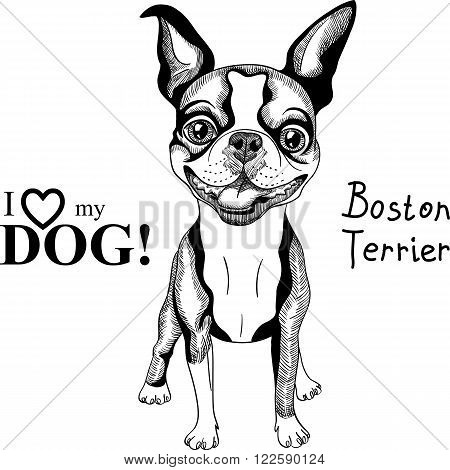 Vector black and white Smiling dog Boston Terrier breed standing