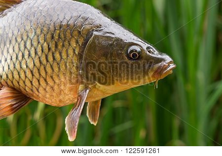 the head of a large carp on a background of green grass