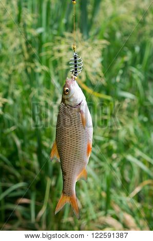 roach caught in the river, hanging on the line