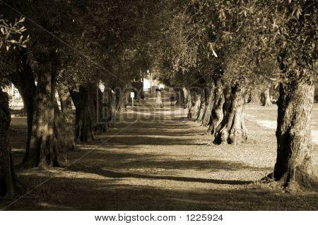 Avenida de árboles monja Sepia
