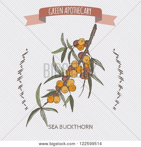 Common sea buckthorn color sketch. Green apothecary series. Great for traditional medicine, gardening or cooking design.
