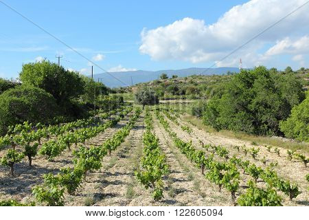 Vineyard In Cyprus
