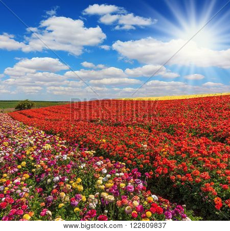 The bright spring sun illuminates field of agriculture in Israel. Huge fields of red and yellow garden buttercups /ranunculus/  ripened for harvesting