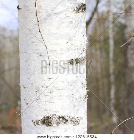 Birch close up. Birch bark. Young birch.