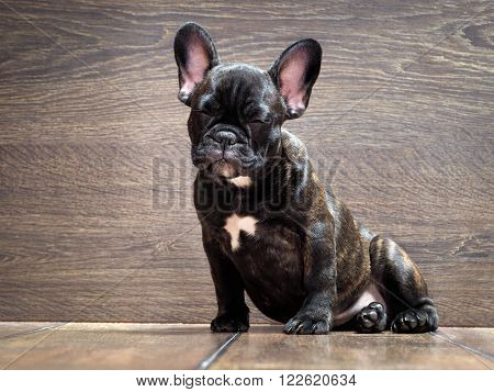 French bulldog puppy. Puppy black. The dog sits at the wooden wall. Thoroughbred elite puppy