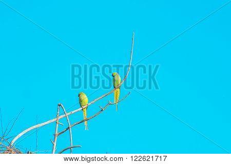 Green ringed or Alexandrine parakeet or parrot