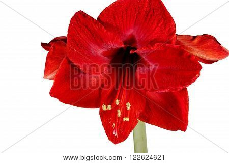 Blooming red Amaryllis over a white background