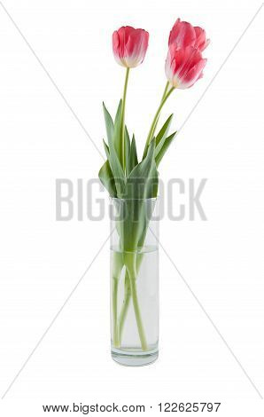 Bouquet of three pink tulips in cylindrical vase isolated on white background