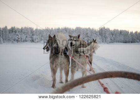 sledding with husky dogs in Finland, Lapland