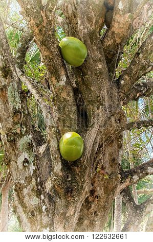 Calabash Tree With Fruit