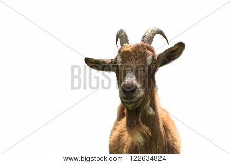 Goat isolated on white background closeup. Front view
