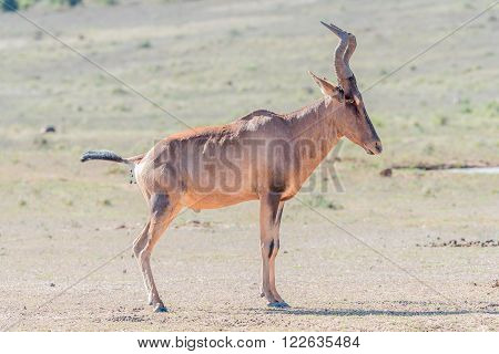 A Red Hartebeest Alcelaphus buselaphus caama pooping at the Carols Rest waterhole