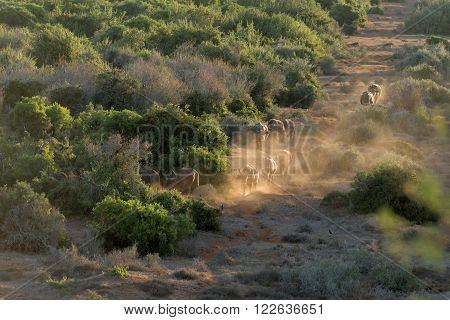A buffalo herd at sunset on their way to the Nyati waterhole at the main camp in the Addo Elephant National Park of South Africa