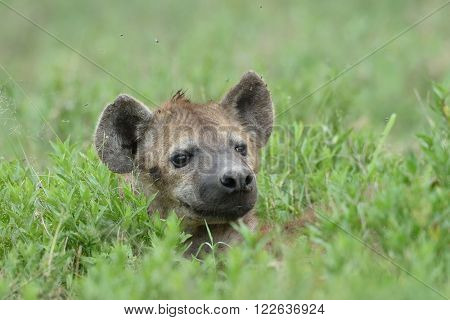 hyena in natural park, Africa