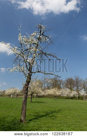 View on a pear tree orchard in the famous fruit region in Flanders, Belgium near St. Truiden