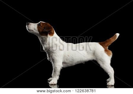 Jack Russell Terrier Puppy Standing on Mirror and Looking up isolated on Black background Profile view