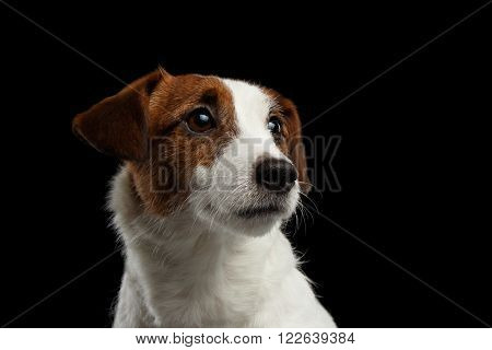 Closeup Portrait of look within Jack Russell Terrier Puppy isolated on Black background
