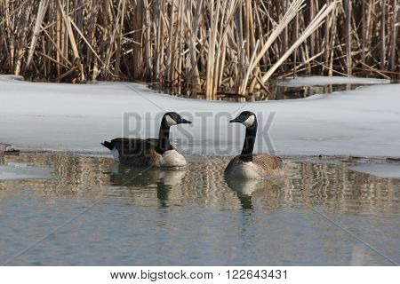 Canada geese (Branta canadensis) swimming in a freshly thawed marsh area in early spring.