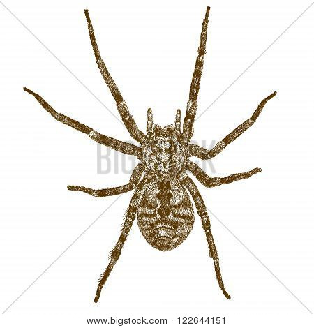 Vector engraving antique illustration of big spider isolated on white background