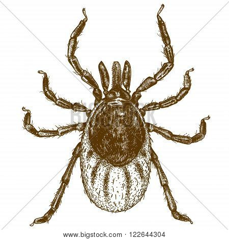 Vector engraving illustration of highly detailed hand drawn tick isolated on white background