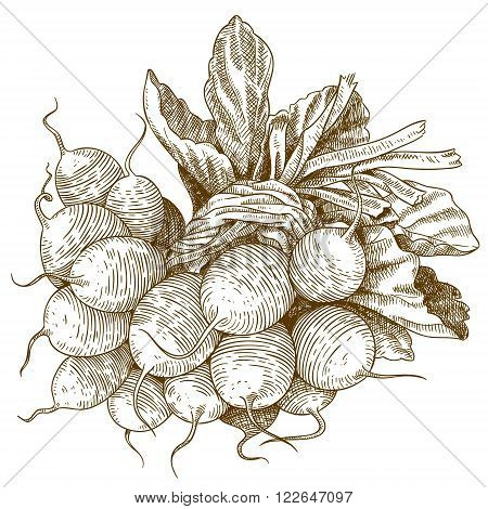Vector engraving illustration of highly detailed hand drawn radishes isolated on white background