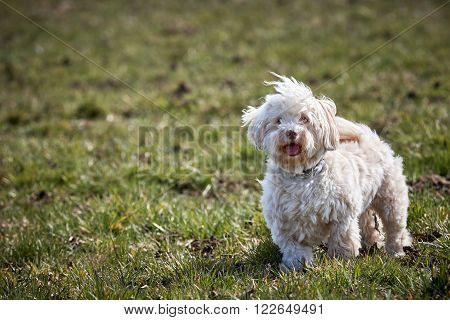 Havanese Dog Standing In The Meadows
