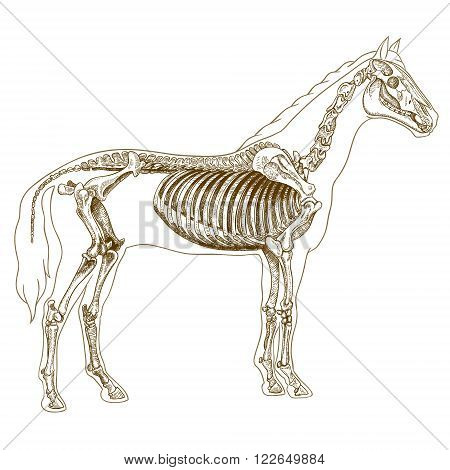 Vector engraving illustration of highly detailed hand drawn skeleton of horse isolated on white background