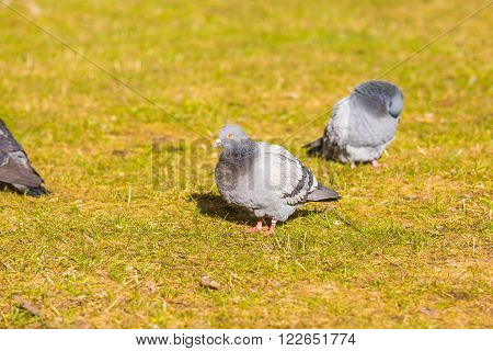 Pigeons in city park photographed in warm light. Wild birds living in city.