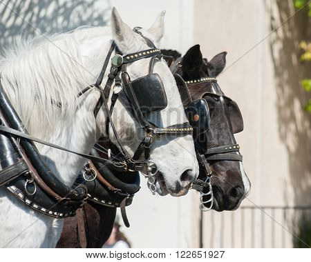 Black and white horse team with blinders.