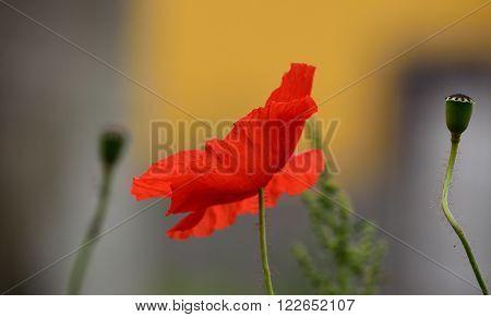 Beautiful poppy flower of intense color .