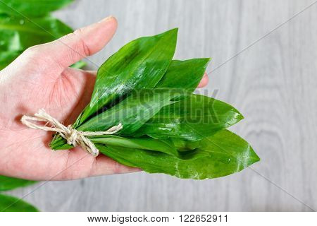 Wild garlic leaves in the palm of hand