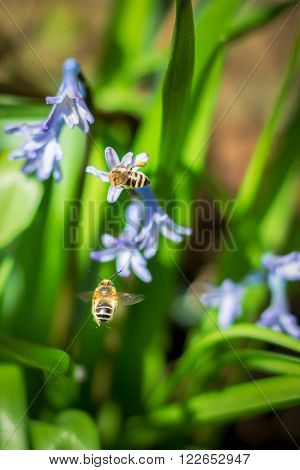 Bee pollinating hyacinth while other one is flying towards flower