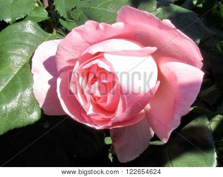The beautiful pink rose isolated in Or Yehuda Israel