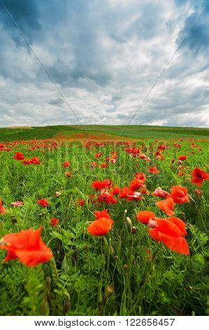 The picturesque landscape with poppy flowers against the blue cloudy sky